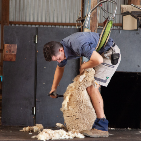 Sheep Shearing Show