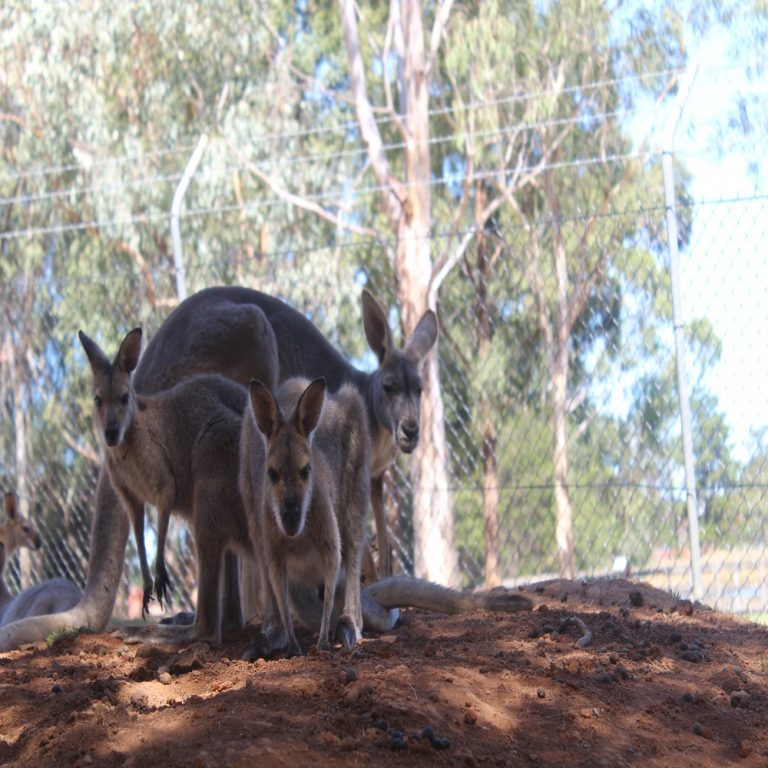 Wallabies and Red Kangaroo