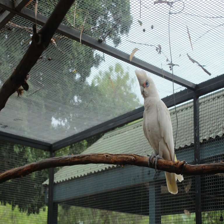 Short Billed Corella