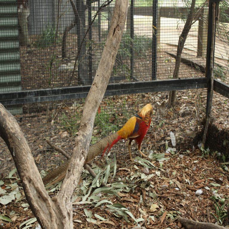 Golden Crested Pheasant